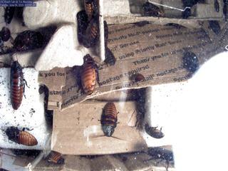 USC Roach Cam (Madagascar Hissing Cockroaches)