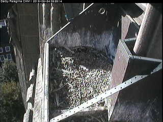 Peregrine Falcon Nest - Derby Cathedral
