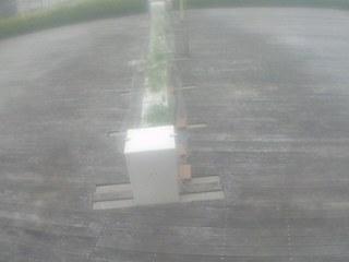 Roof Garden - Sweet Potatoes
