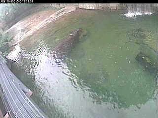 Toledo Zoo 'hippo cam'