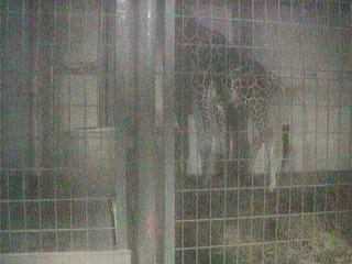 Chausuyama Zoo - Giraffe Cam